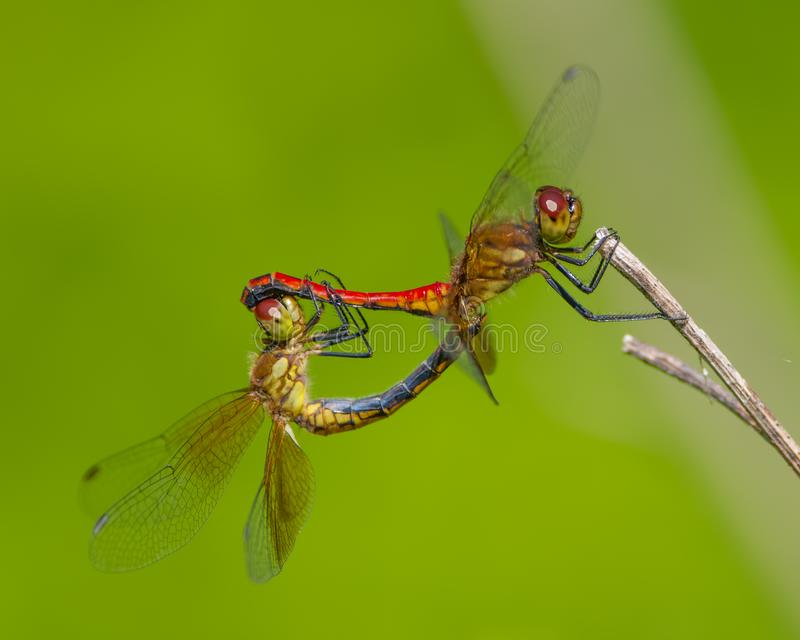 Pair of dragonflies perched and breeding on a twig taken near Minnehaha Falls in Minneapolis, Minnesota royalty free stock photo