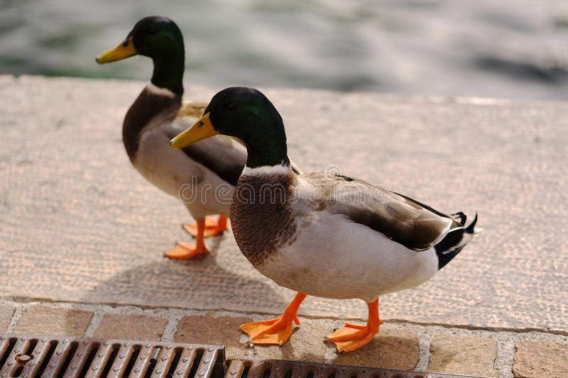 Pair of drakes. Good quality close up photo of a pair of ducks slowly walking somewhere in the city. Image shows two drakes, yellow beaks, emerald green heads stock photography