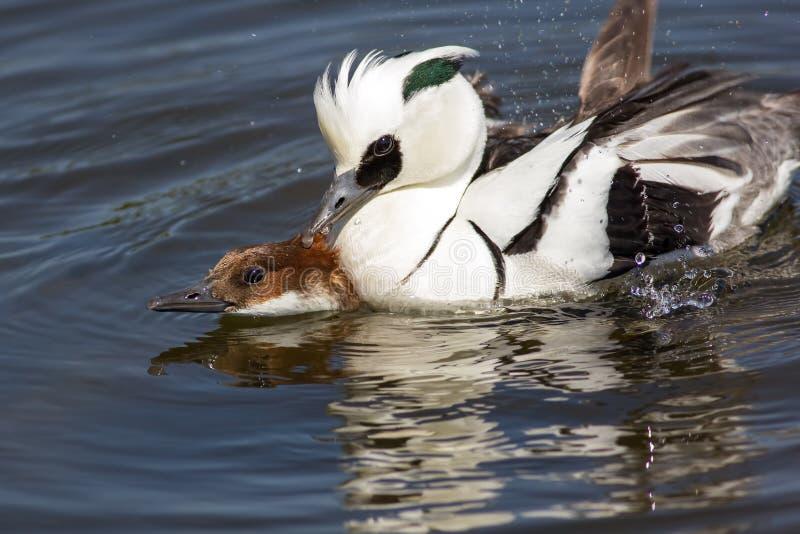 Pair of ducks copulating. Male and female smew birds having sex stock photo