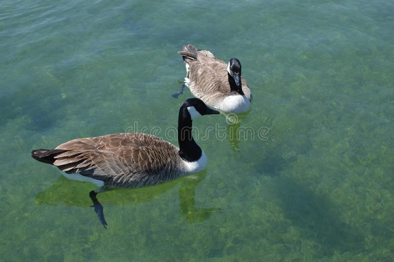 Pair of ducks floating on lake. Photo of pair of ducks floating on bright blue lake royalty free stock photo