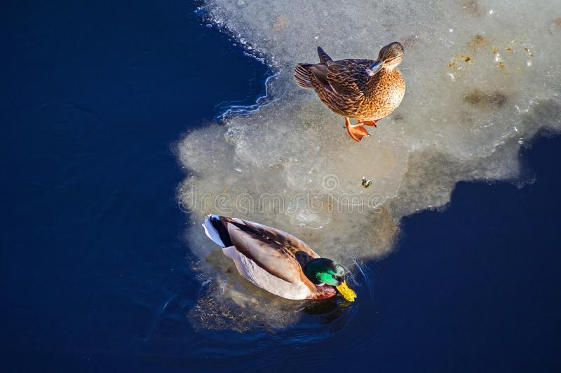 Pair of ducks in the river. Family talk. February in St. Petersburg stock photo