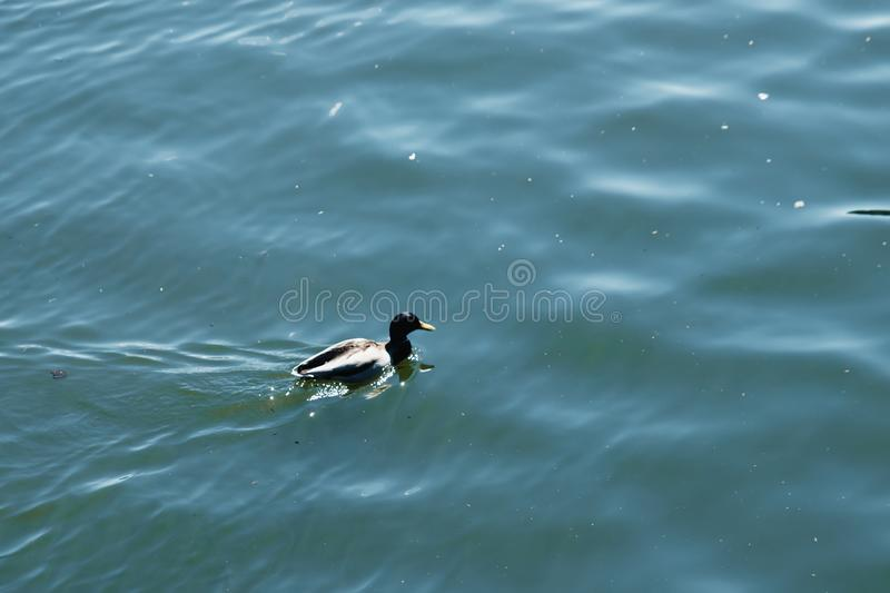 A pair of ducks swim in the pond on the water stock photos