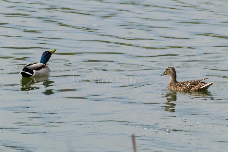 Pair of ducks swims. Ripples on the water of lake stock photos