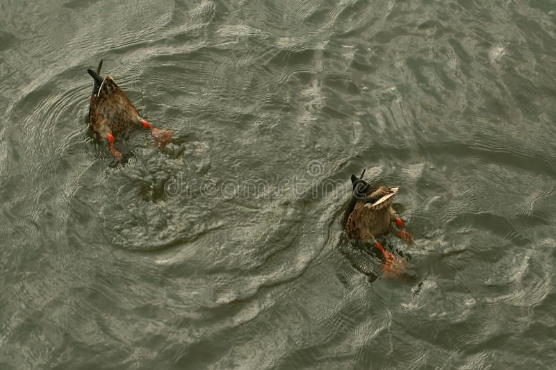 A pair of ducks synchronously dive. stock photo