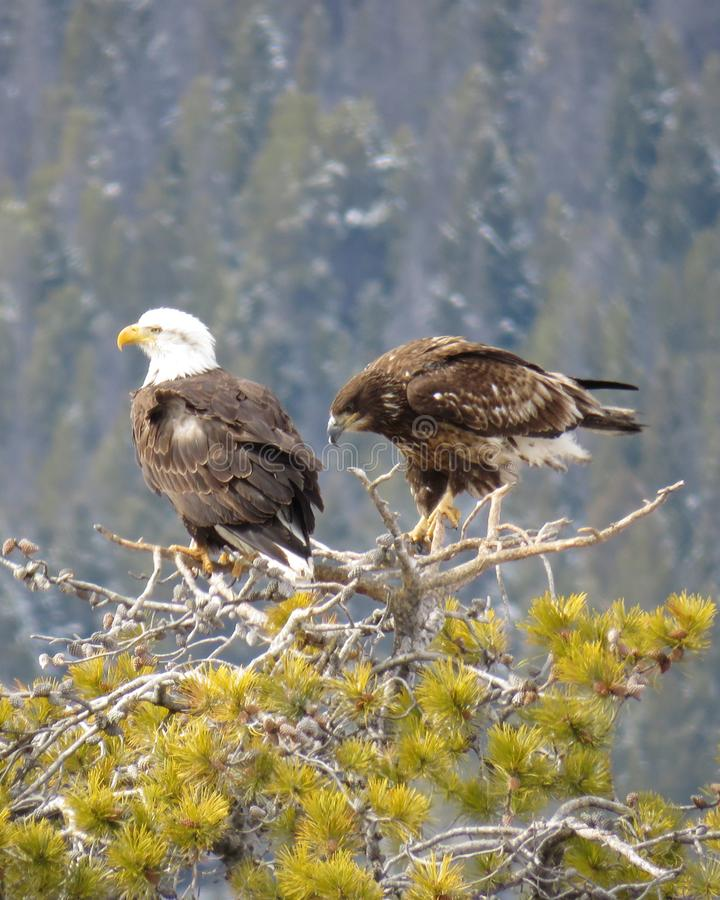 Pair of Eagles on top of tree hunting royalty free stock photos