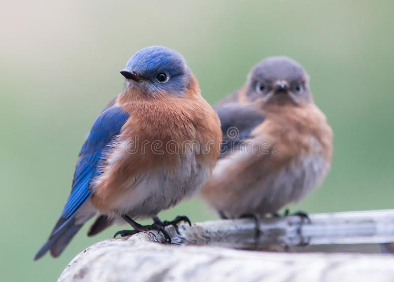A pair of eastern bluebirds stock images