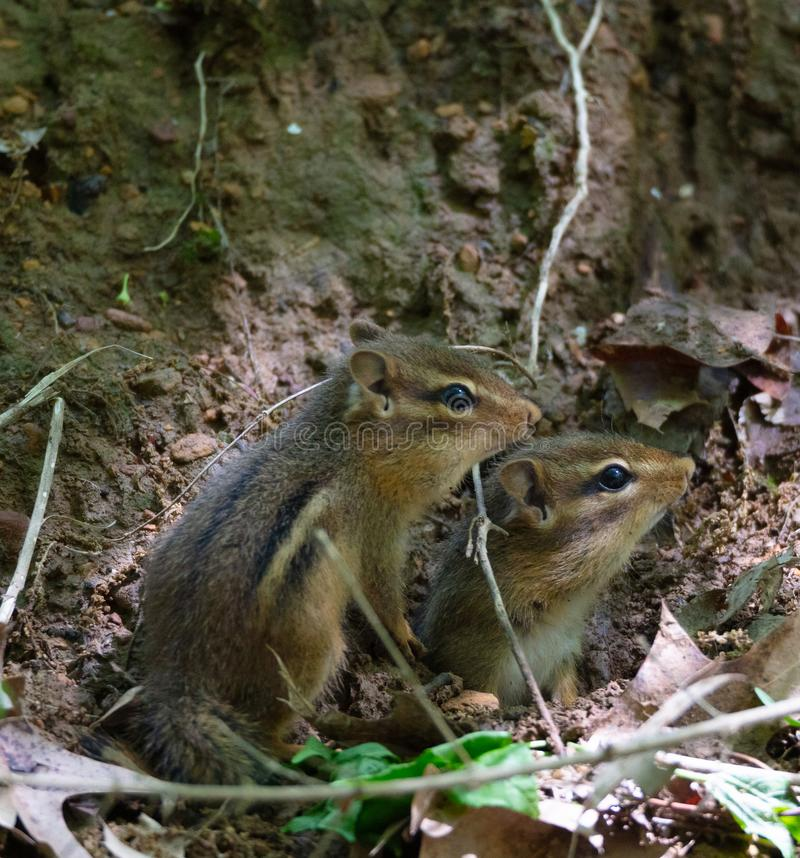 Pair of Eastern Chipmunks stock photography