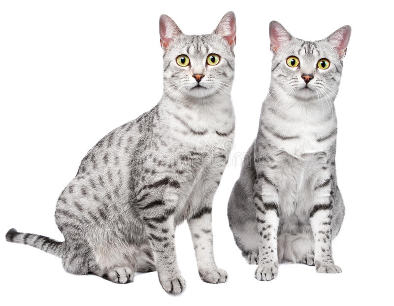 Download Pair of Egyptian Mau Cats stock photo. Image of feline - 24221966
