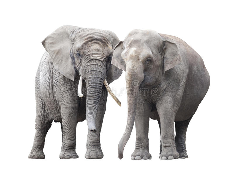 Pair of elephants royalty free stock images