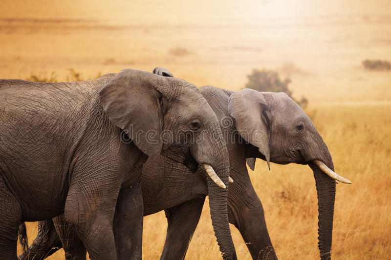 Pair of elephants walking together in savannah. Close-up picture of a pair of beautiful African elephants walking together in Kenyan savannah royalty free stock image