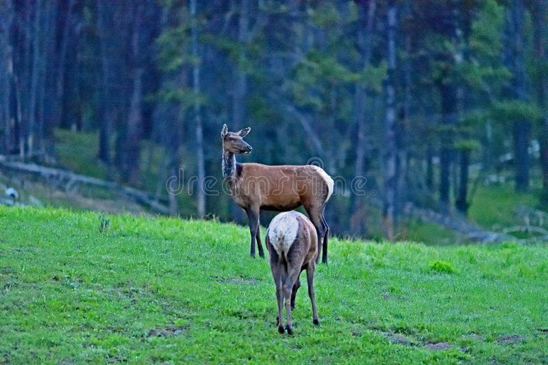 A pair of Elk at West Thumb, Yellowstone royalty free stock photos