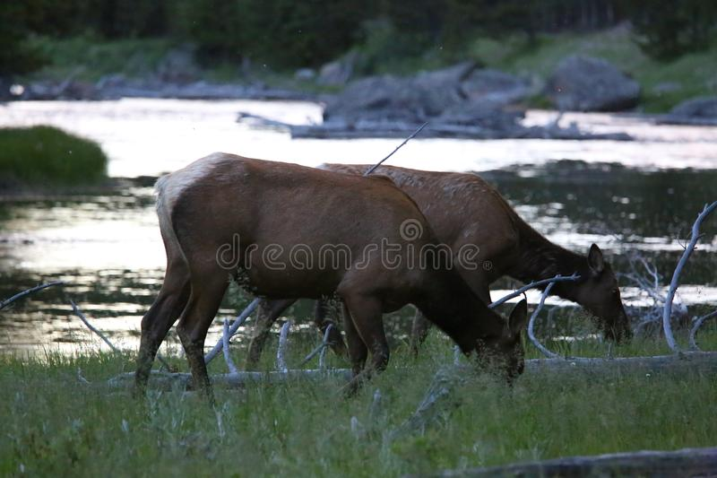 A pair of Elk in yellowstone royalty free stock photo