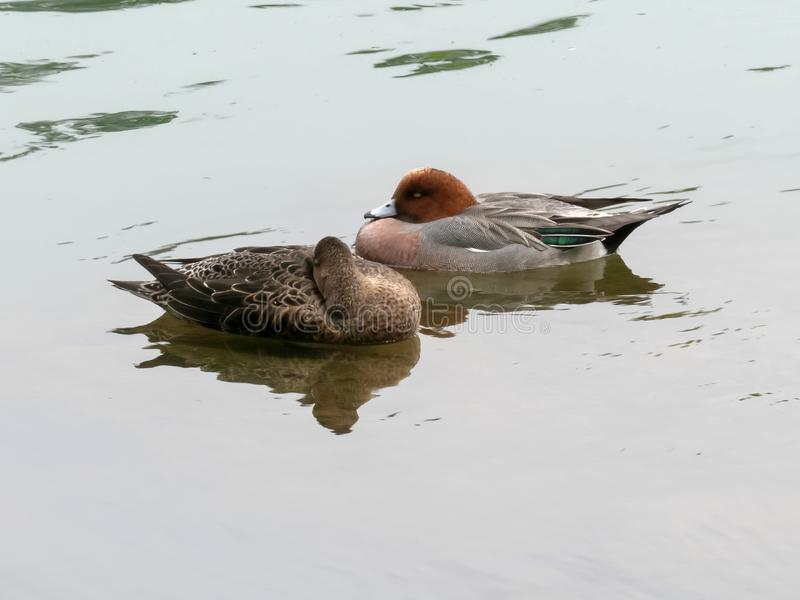 Pair of eurasian widgeon swimming on the katsura river in kyoto stock images