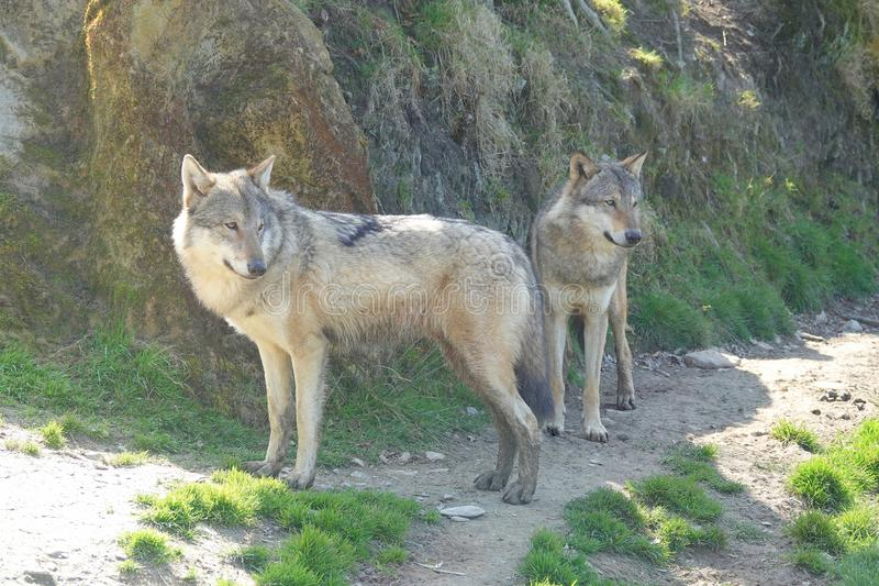 Pair of Eurasian Wolves standing royalty free stock photo