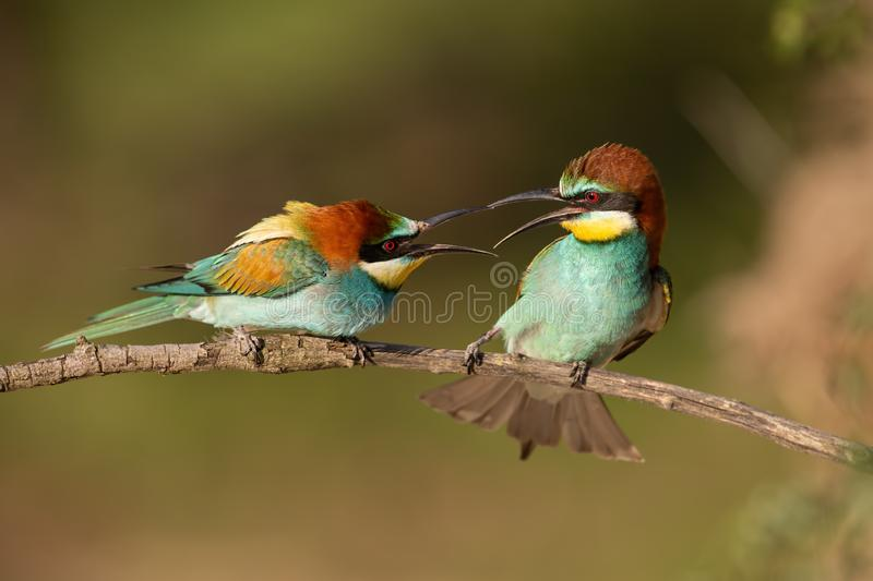 Pair of european bee-eaters, merops apiaster figahting. Pair of european bee-eaters, merops apiaster fighting. Two colorful exotic looking birds having a stock photography