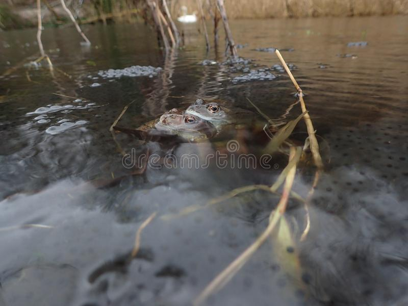 Mating European or common frogs, Rana temporaria, surrounded by frogspawn. Blackford Pond, Edinburgh. Pair of European or common frogs, Rana temporaria stock images