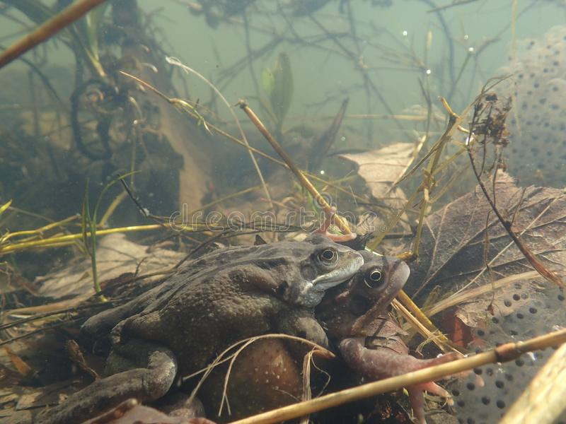Mating European or common frogs, Rana temporaria, surrounded by frogspawn. Blackford Pond, Edinburgh stock photos