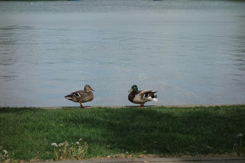 Pair of female and male ducks on lake shore royalty free stock photo