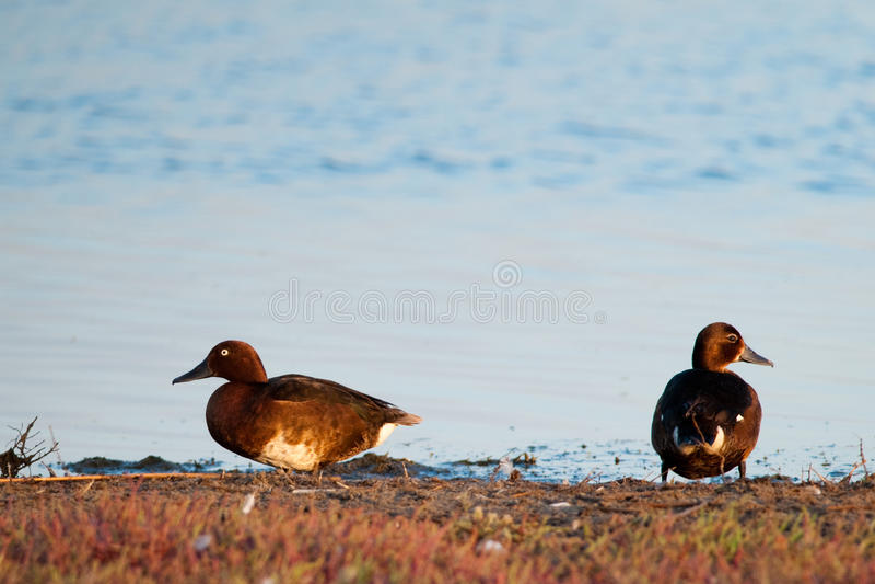 Pair of Ferruginous Duck stock photo