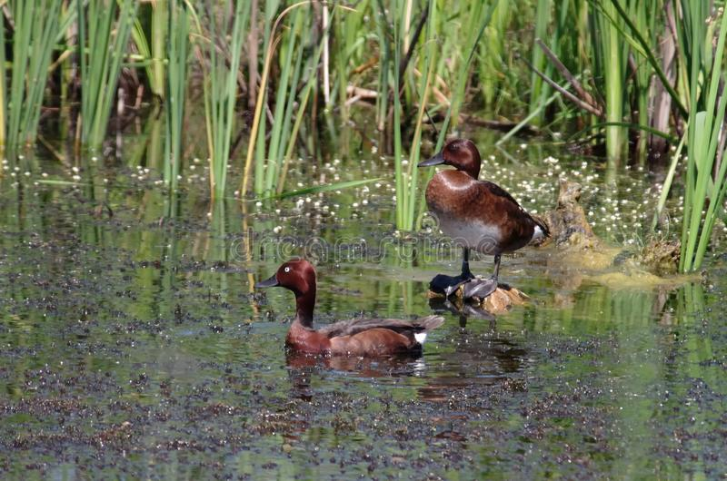 Pair of Ferruginous Duck royalty free stock photos