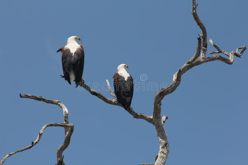 Download Pair of Fish eagles stock image. Image of twig, bird - 21874587