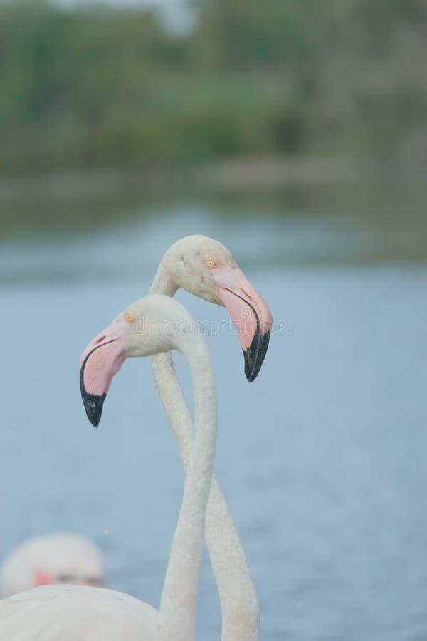 Download A pair of flamingos. stock photo. Image of bill, pair - 25887792
