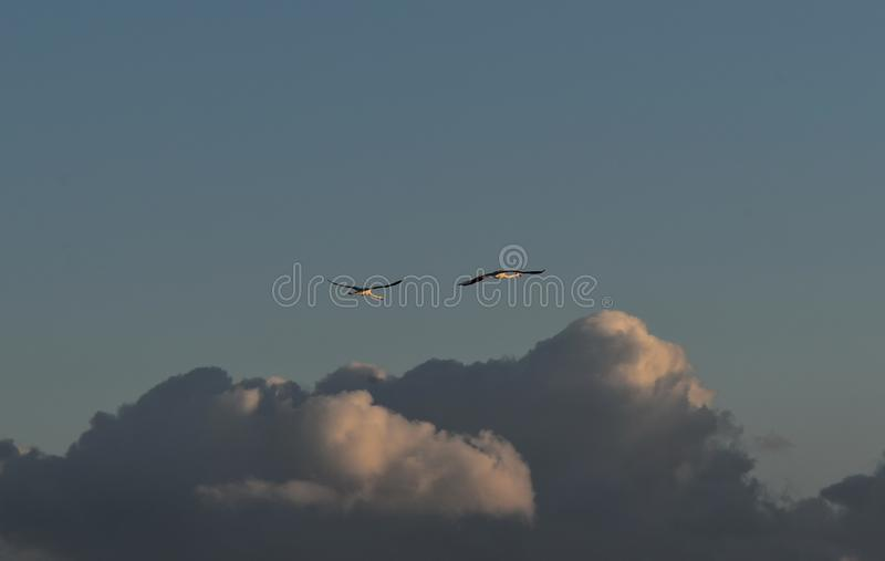 Flying Flamingos royalty free stock photo