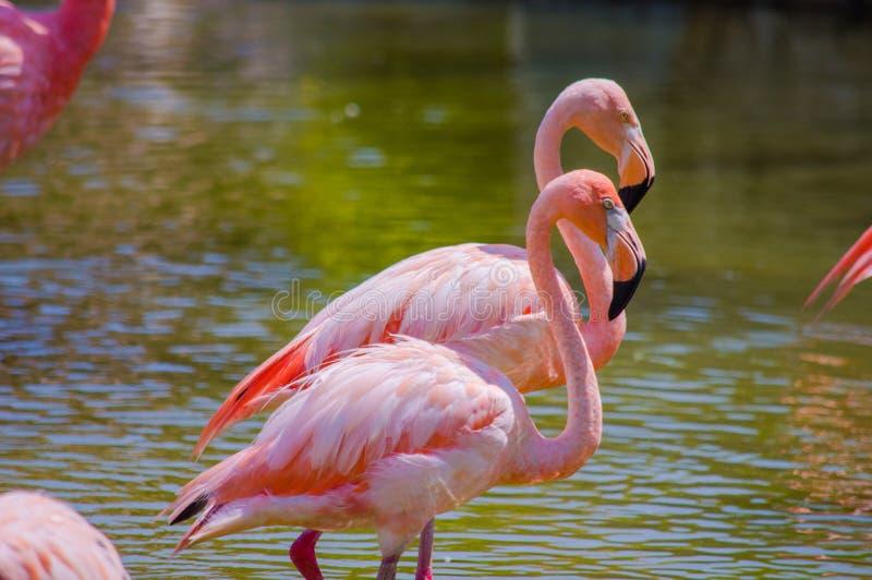 Pair of flamingos in pond stock photo