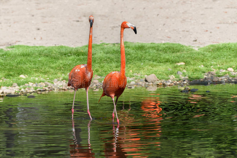 Pair of flamingos stand in a pond stock photography