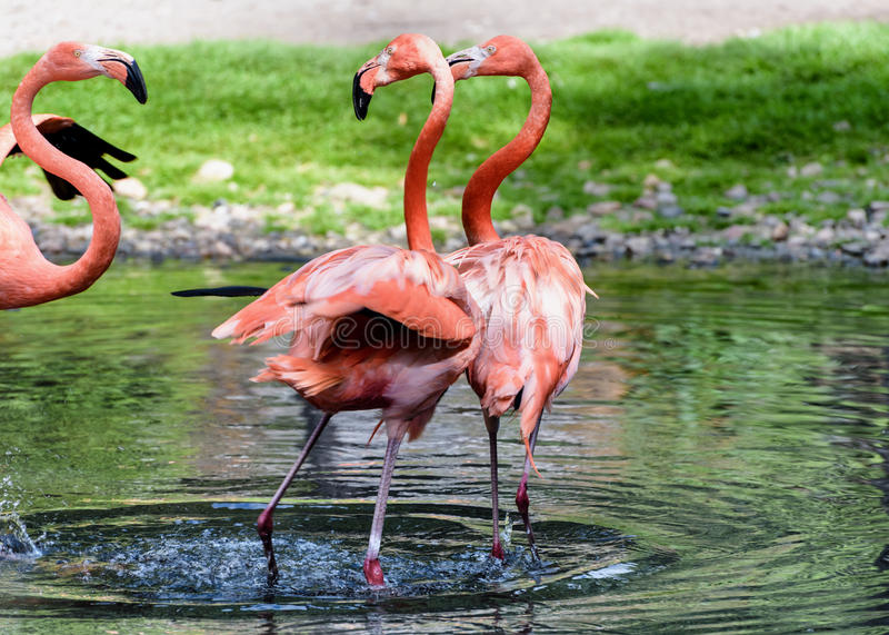 Pair of flamingos stand in a pond. American flamingo royalty free stock images