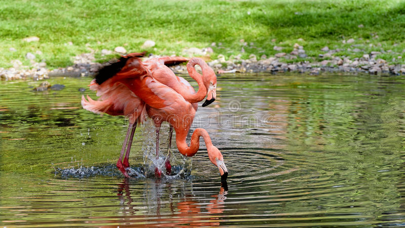 Pair of flamingos stand in a pond. He and she. American flamingo stock photo