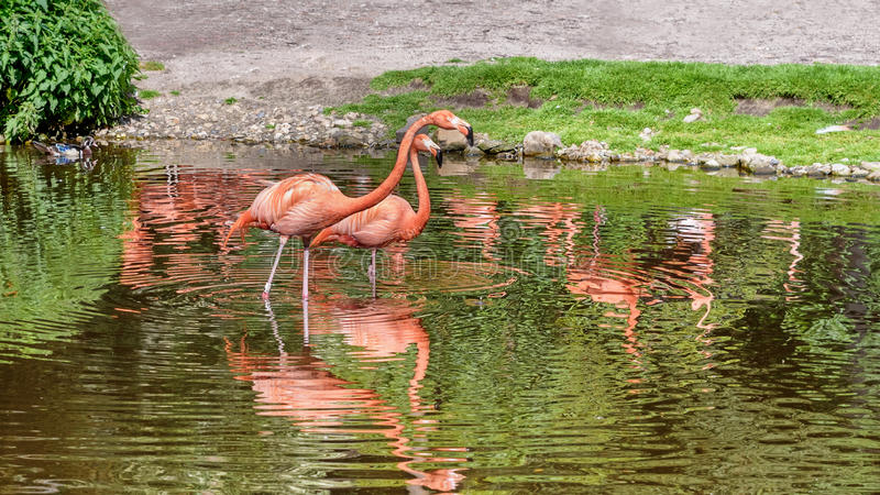 Pair of flamingos stand in a pond. American flamingo. Reflection in water royalty free stock photos