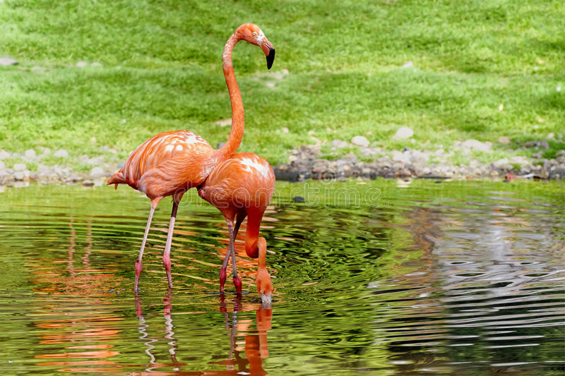 Pair of flamingos stand in a pond. Lanscape for poster royalty free stock images