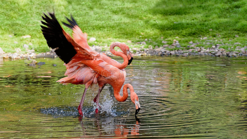 Pair of flamingos stand in a pond. He and she. Love. American flamingo stock image