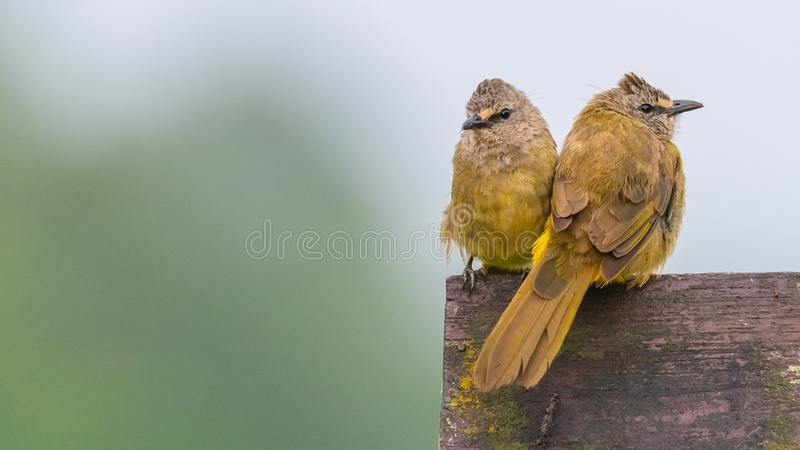 A pair of Flavescent Bulbul perching on piece of wood and puffing up their plumage royalty free stock images