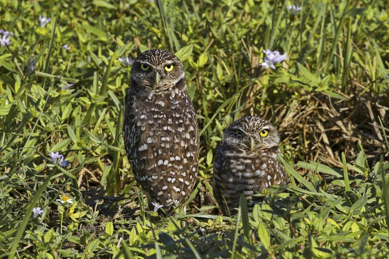 Pair of Florida burrowing owls in Coral Gables. Florida burrowing owls, the official city bird, have special protection in Cape Coral, a Southwest Florida town royalty free stock photo