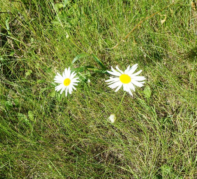 A pair of flowering daisies in the grass on a spring meadow royalty free stock photo