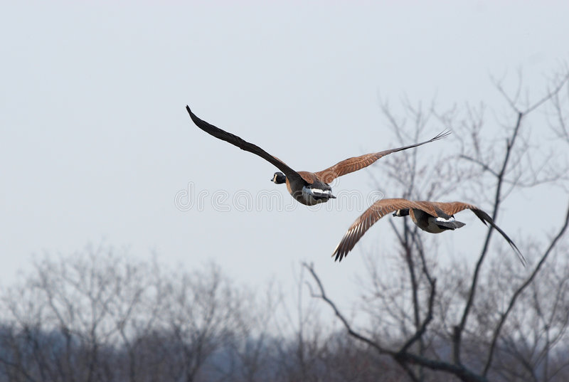 Download Pair of flying geese stock image. Image of feather, goose - 1090627