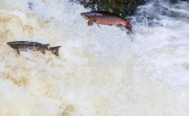 Pair fo salmon leaping. A pair of salmon leaping up a waterfall enroute to spawning grounds in the the northern of Scotland from Atlantic ocean stock photos