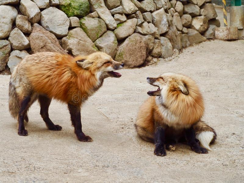 Two foxes communicating in Japan. This pair of foxes have a little chat in fox park in Japan stock images