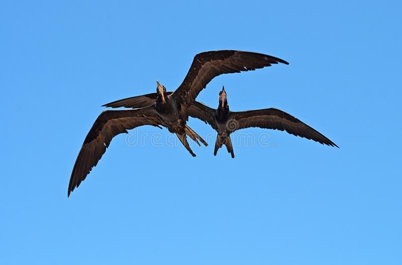 Pair of frigatebirds in the sky royalty free stock photo