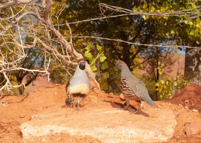 A pair of gambel`s quail pass each other stock images