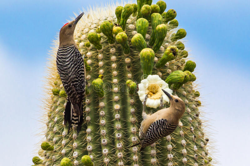 Pair Of Gila Woodpeckers. A Pair Of Gila Woodpeckers Browsing On Buds And Blossoms Of A Saguaro Cactus, Saguaro National Park, Tucson, Arizona stock images