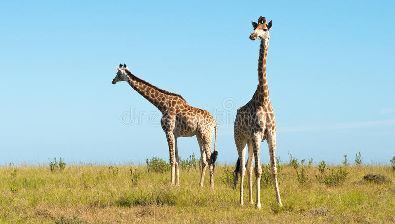 Download Pair of giraffes stock image. Image of south, legs, ungulate - 23104747