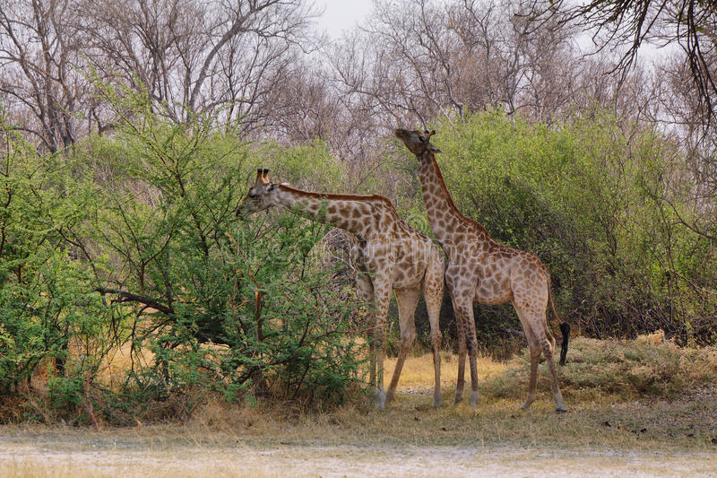 Pair of giraffes in loving stance stock photography
