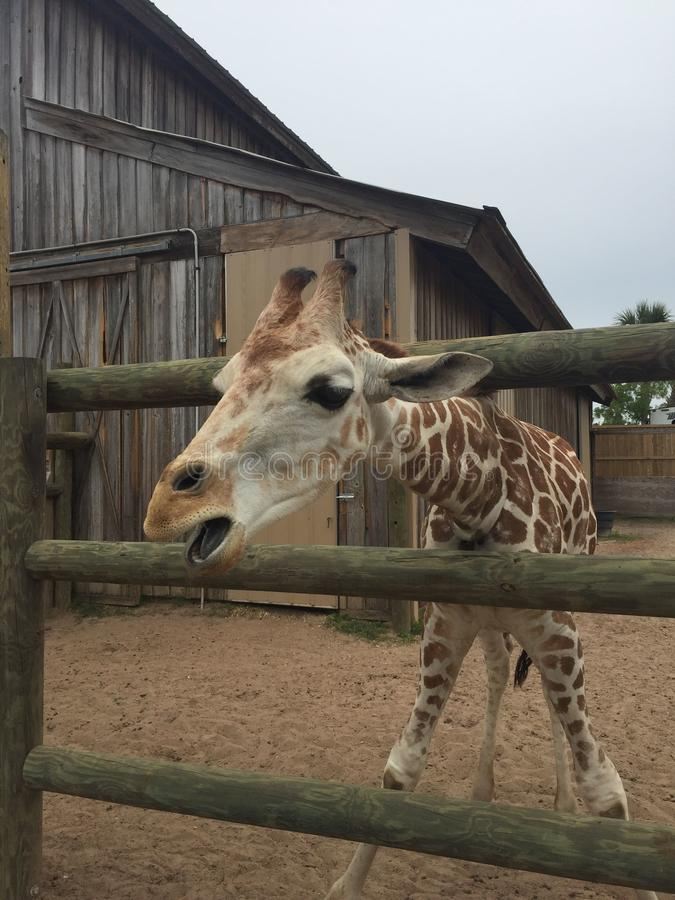 Pair of Giraffes in a wooden pen being fed lettuce with the head approaching the camera great nature shot with wildlife. Giraffes in a fenced yard eating lettuce stock images