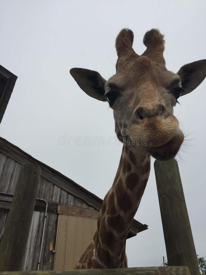 Pair of Giraffes in a wooden pen being fed lettuce with the head approaching the camera great nature shot with wildlife. Giraffes in a fenced yard eating lettuce stock image