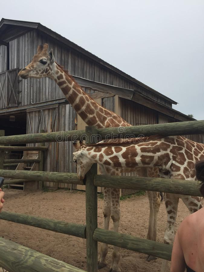 Pair of Giraffes in a wooden pen being fed lettuce with the head approaching the camera great nature shot with wildlife. Giraffes in a fenced yard eating lettuce royalty free stock images