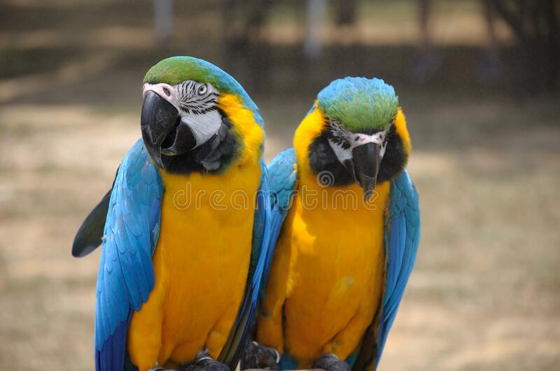 A pair of gold macaws staying together perched on a branch at a park royalty free stock photos