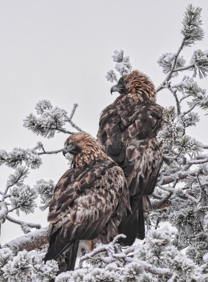 Pair of Golden Eagles stock photos